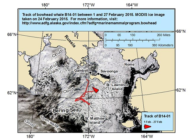 Map tracking bowhead whale movements between 02/01/2015 – 02/27/2015
