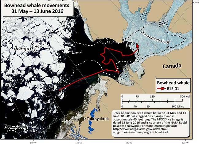 Map tracking bowhead whale movements between 05/31/2016 – 06/13/2016