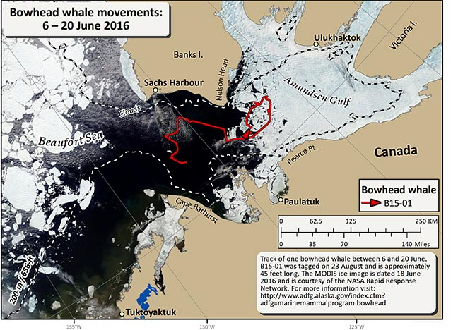 Map tracking bowhead whale movements between 06/06/2016 – 06/20/2016