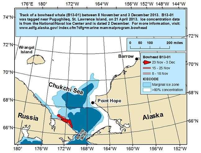 Map tracking bowhead whale movements between 11/08/2013 – 12/03/2013