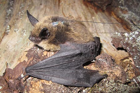 Keens myotis with tag