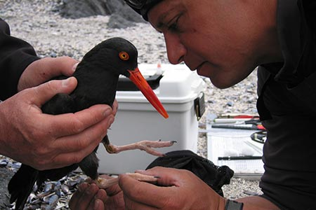 Dave Tessler draws blood from an oystercatcher