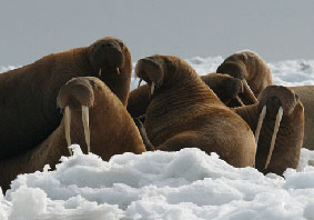 Photo of a Pacific Walrus