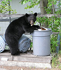 black bear going through garbage can