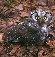 photo of a boreal owl