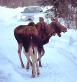 Two Moose on Snowy Road