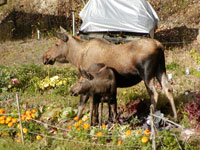 moose and calf in garden