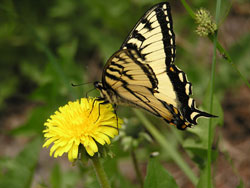 photo of a swallowtail butterfly