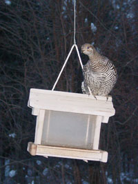 grouse on feeder