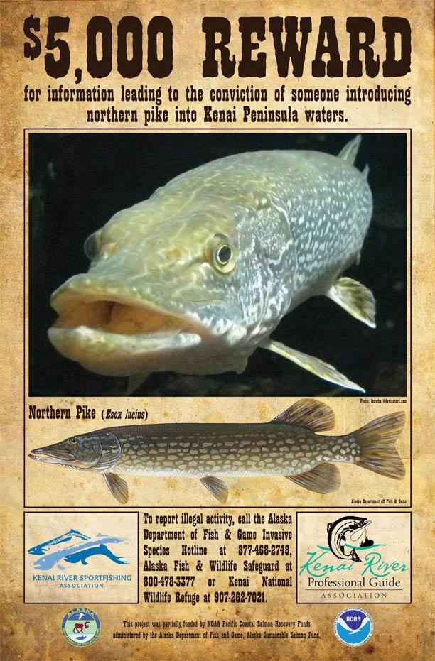 Invasive northern pike additional resources alaska for Alaska fish species