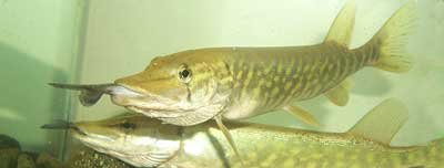 two pike in fishtank with other fish in their mouths