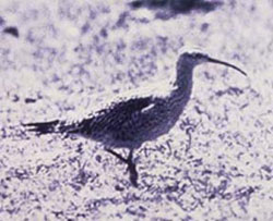 photo of an Eskimo curlew
