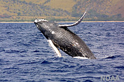 photo of a humpback whale