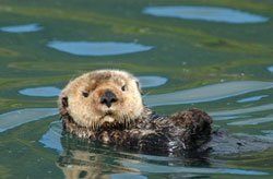 photo of sea otter