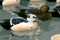 photo of two Steller's eider