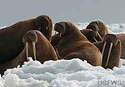 photo of a group of walruses