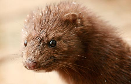 Photo of an American Mink