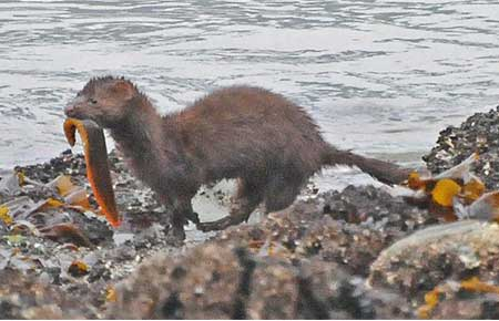 American Mink Photo Gallery, Alaska Department of Fish and Game