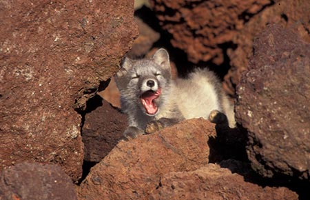 Photo of a Arctic Fox