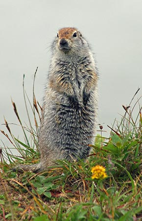 Photo of a Arctic Ground Squirrel