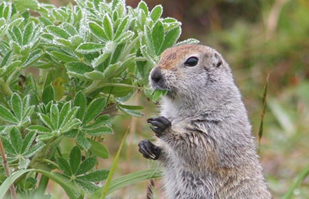 Photo of Arctic Ground Squirrel