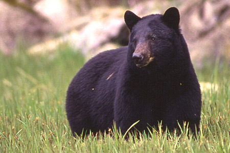Photo of a Black Bear