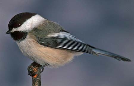 Photo of Black-capped Chickadee by Bob Armstrong