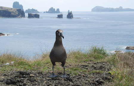 Photo of a Black-footed Albatross