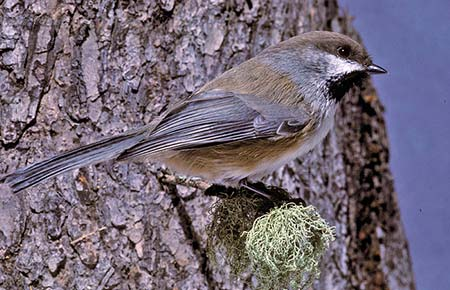 Photo of a boreal chickadee