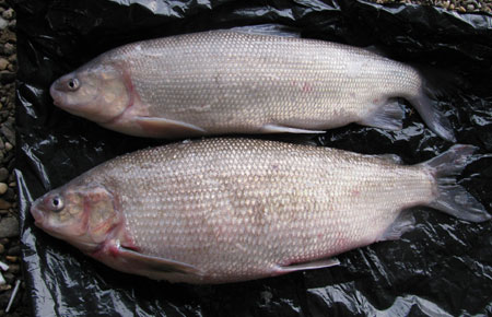 Photo of a Broad Whitefish