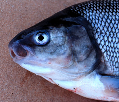 Broad whitefish photo gallery alaska department of fish for Alaska fish species