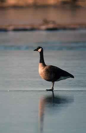 Photo of a Canada Goose