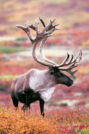 Caribou Photo Gallery, Alaska Department of Fish and Game