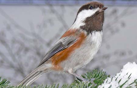 Photo of a Chestnut-backed Chickadee