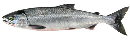 Photo of a Chum Salmon