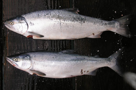 Photo of a Coho Salmon