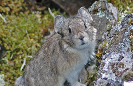 Picture of a Collared Pika