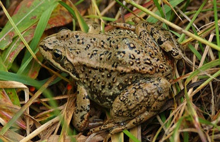Photo of a Columbia Spotted Frog
