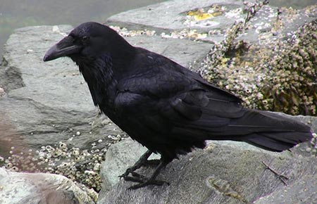 Photo of a common raven