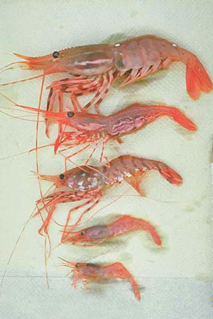 how to catch coonstripe shrimp