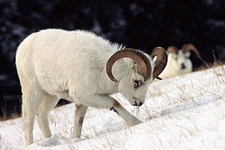 Dall Sheep Species Profile, Alaska Department of Fish and Game