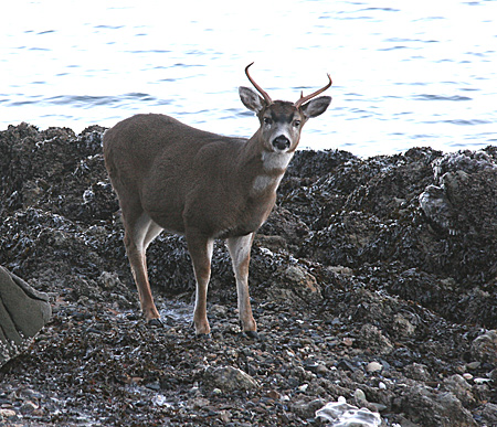 Photo of a Sitka Black-tailed Deer