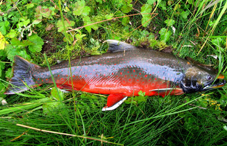 Photo of a Dolly Varden