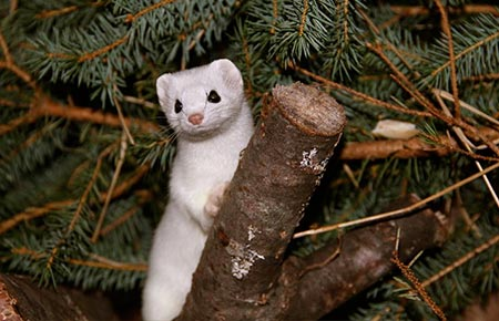 Photo of a Ermine