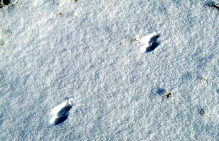 Image of Ermine tracks