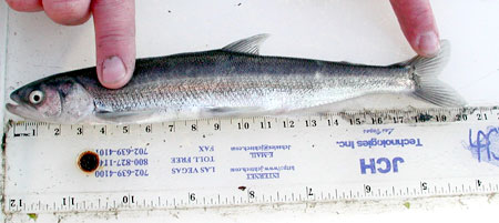 Photo of a Eulachon