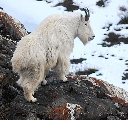 Alaska Department Fish  Game on Mountain Goat Photo Gallery  Alaska Department Of Fish And Game