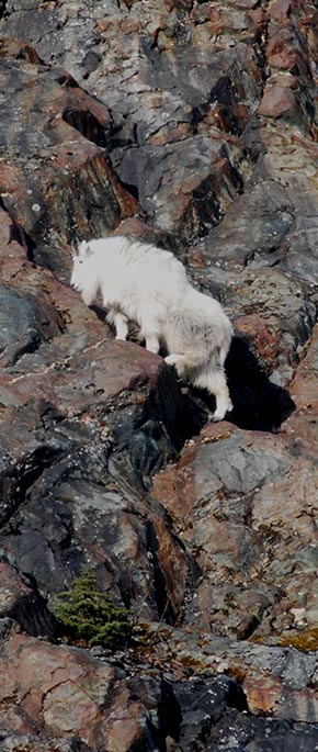 Picture of a Mountain Goat
