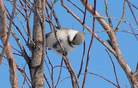 Photo of a Gray-headed Chickadee