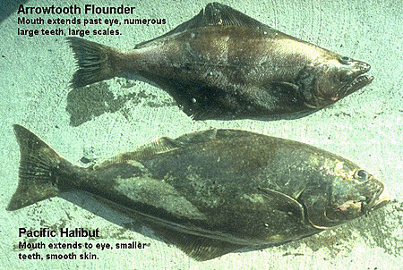 Photo of a Pacific Halibut